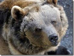 cari-orsi-non-valicate-il-confine-con-la-svizzerafoto