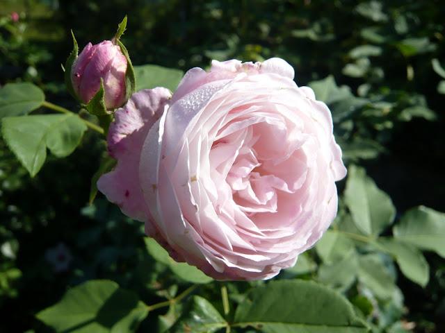 historische rosen 2010 seite 218 rund um die rose. Black Bedroom Furniture Sets. Home Design Ideas