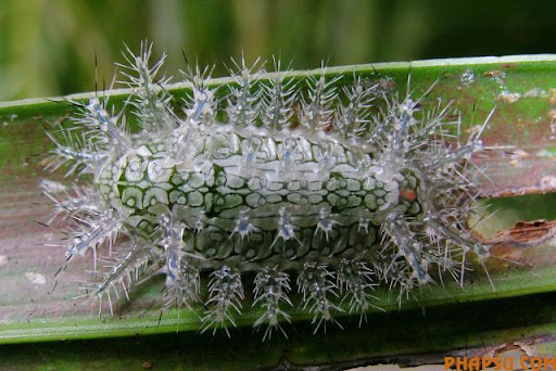 beautiful_caterpillars_09.jpg