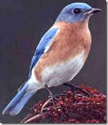bluebird_red_crested