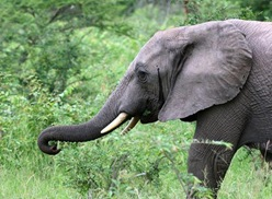 elephant1_1367620i