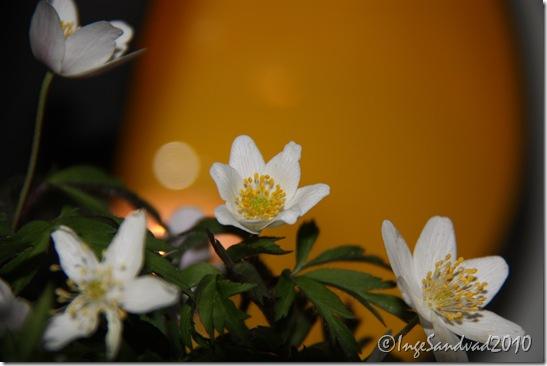 anemoner 004