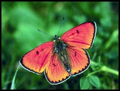 Cópia de borboleta_vermelha-320