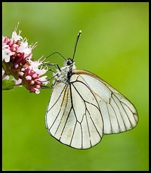 Cópia de Cópia de borboleta-321
