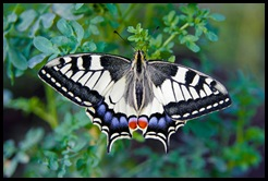 Swallowtail, Papilio machaon (Linnaeus, 1758) , Cauda de Andorin