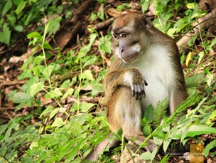 Monkeys Along Corregidor's Road