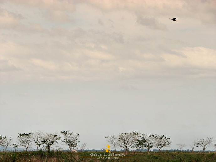 A Lone Heron Soaring Above the Candaba Wetlands