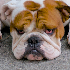 Big Boy by Barbara Brock - Animals - Dogs Portraits ( wrinkles, bulldog, english bulldog, pet, dog )