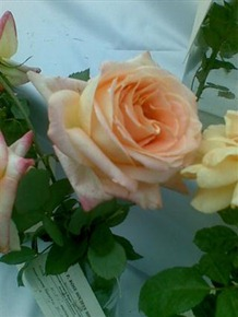 rose गुलाब इश्क प्रेम