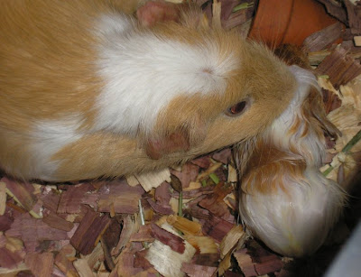 first guinea pig being born