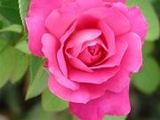 rosas (2)