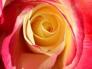 rosas (13)