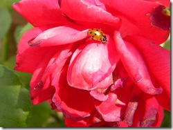 Ladybug on a pink rose