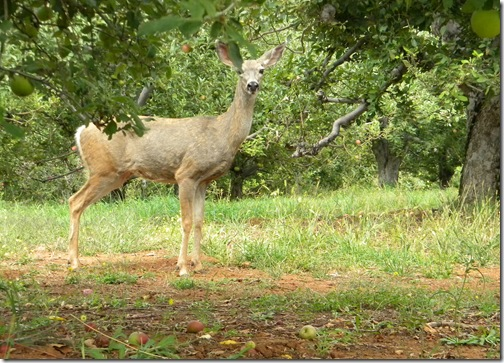 Doe in the orchard