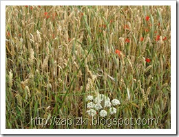 Пшеничное поле во Франции