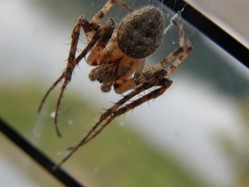 Walnut Orb-Weaver Spider (Nuctenea umbratica), pók, keresztespók, Lágymányosi híd