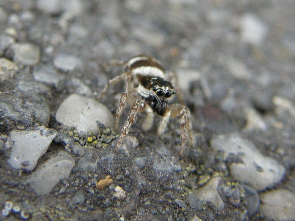 Zebra_spider, pók,  pókok, Salticus scenicus, Budapest, Magyarország, A színészpók Salticus scenicus a pókszabásúak Arachnida osztályának a pókok Araneae rendjéhez, ezen belül a főpókok Araneomorphae alrendjéhez és a ugrópókfélék (Salticidae) családjához tartozó faj. LSD