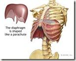 diaphragm_med