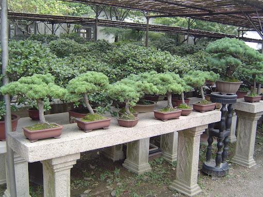sozho garden bongsai