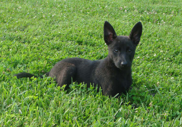 Dutch Shepherd Dog Puppies