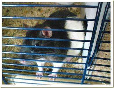 rat bart