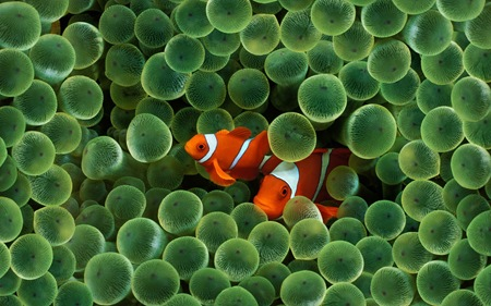 Clown Fish-19