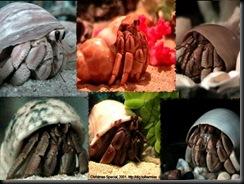 land-hermit-crab