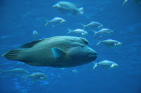 humphead fish.jpg
