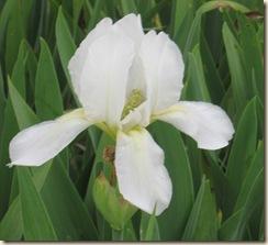 Iris April 2010