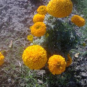 marigold on a sunny day by Jayita Mallik - Flowers Flower Gardens
