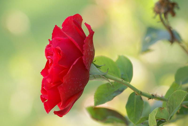 Rosa do Outono