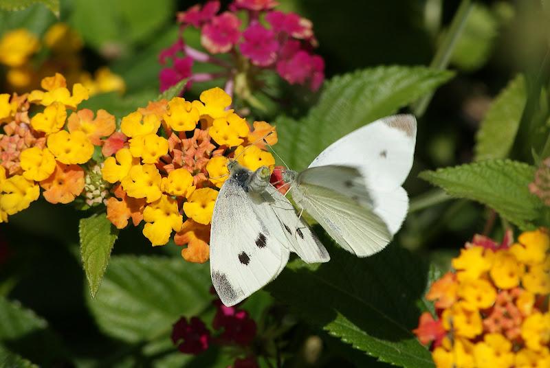 A veia do poeta.. o voo das borboletas