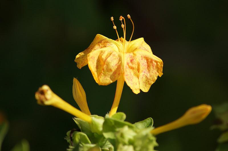 Flor que não dura - Fernando Pessoa
