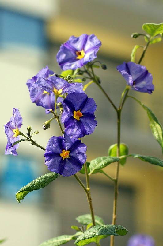 Flores, Azul