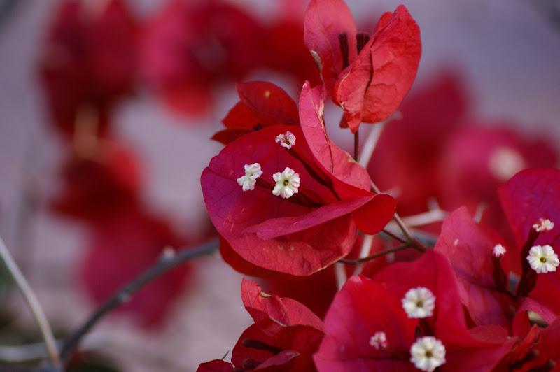 Bungavilia Vermelha