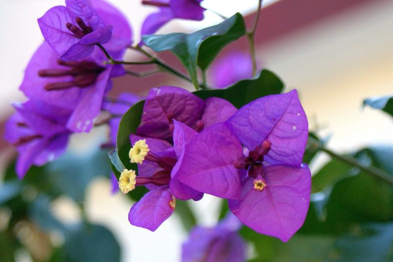 Bungavilia lilás