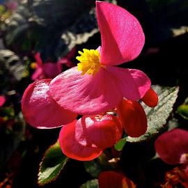 Flower in morning sunshine  by Kaoru Arai-Lewman - Instagram & Mobile iPhone ( red, garden, flower )
