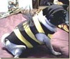 bumble pug