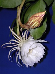 epiphyllum oxypetalus