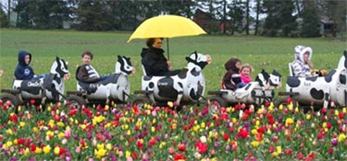 tulip_fest-cow-train