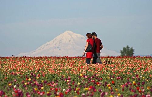 Woodburn tulips-mtn