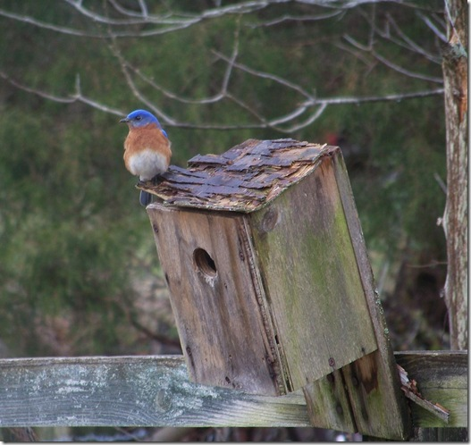 Bluebird on box