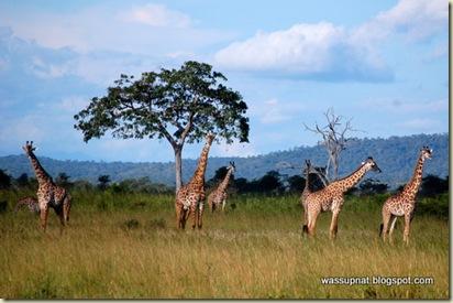 Giraffe on high alert