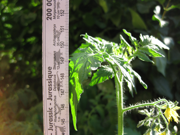 the top of a tomato plant next to a measuring stick with pictures of dinosaurs on it; the top leaf hits the 151 cm mark