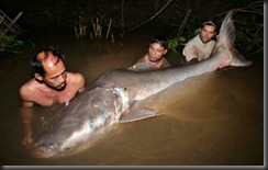 Fishes-giant-catfish-1