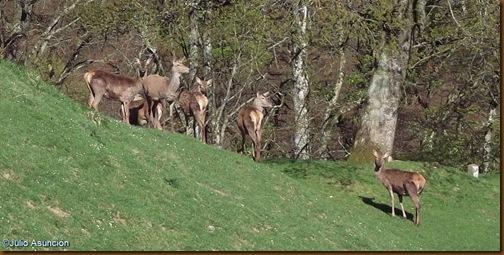 Ciervos de la venta de Ultzama - ruta megalítica de Velate