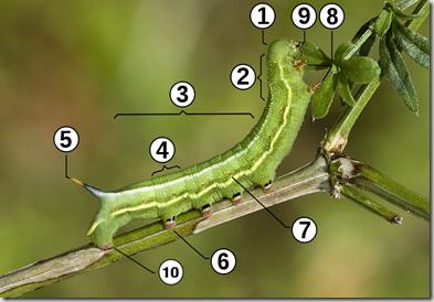 caterpillar-morphology
