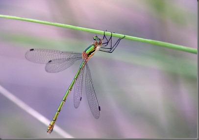 10_07_06_thursley_common_010_emerald_damselfy