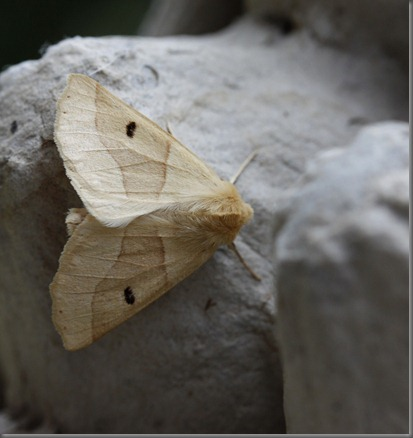 10_07_20_moths_057_scalloped_oak