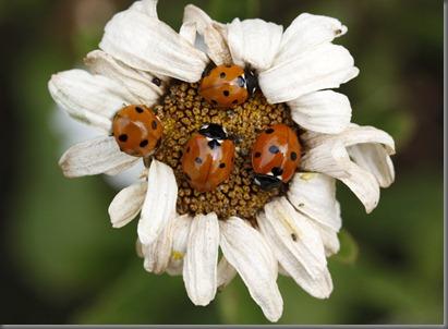 10_07_25_longfield_223_ladybird_laagar